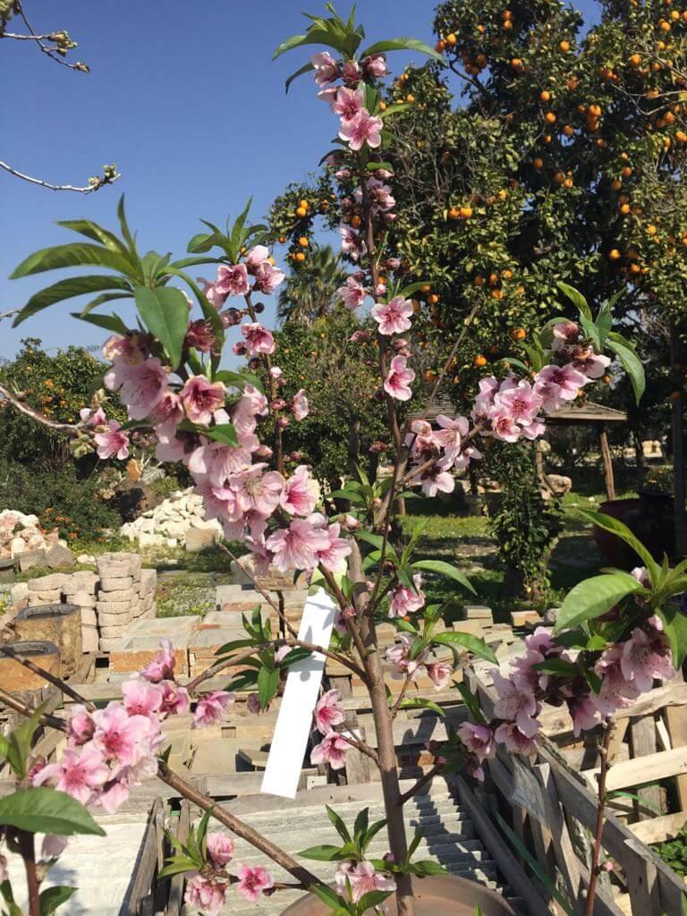 אפרסקים לגינה